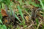 Bläulich-bereifte Keule-Clavaria greletii