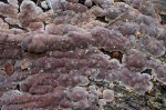 Mosaik-Schichtpilz-Xylobolus frustulatus