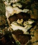 : Tramete-Antrodiella serpula