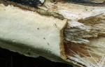 : Baumschwamm-Perenniporia subacida