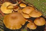 Goldblättriger Goldnabeling-Chrysomphalina chrysophylla