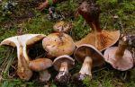 :-Cortinarius caesiocinctus