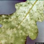 Eichenmehltau-Microsphaera alphitoides