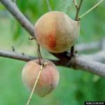 Faltiges Fruchtbecherchen-Monilinia fructicola