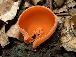 Orange-Becherling-Aleuria aurantia
