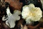 Schwärzender Pfifferling-Cantharellus melanoxeros