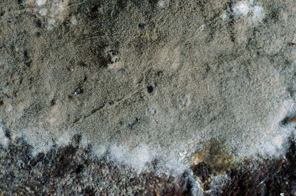 Lockerflockige Traubenbasidie-Botryobasidium conspersum