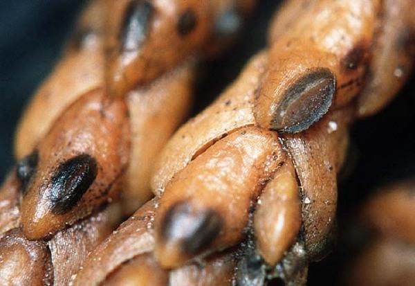Wacholder-Spaltlippe-Lophodermium juniperinum