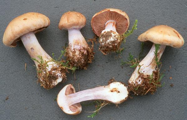 Lilasilbriger Schleimkopf-Cortinarius argenteolilacinus