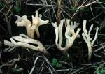 Zarte Wiesenkeule-Clavulinopsis subtilis