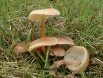 Waldfreund-Blasssporrübling-Gymnopus dryophilus