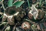 Schwarzköpfiger Haarstern-Geastrum melanocephalum