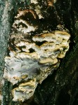 Blasse Borstentramete-Coriolopsis trogii
