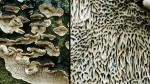 Grossporige Tramete-Datronia mollis