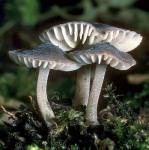 Glattsporiger Reifhelmling-Mycenella salicina