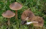 Verblassender Glöckling-Entoloma pallescens