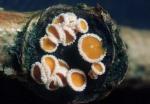 Zweifarbiges Haarbecherchen-Lachnum bicolor