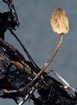 :-Scleromitrula calthicola