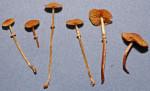 Grosssporiges Samethäubchen-Conocybe vexans