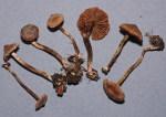 Erlengürtelfuss-Cortinarius alnetorum