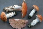Weissgestiefelter Schleimkopf-Cortinarius claricolor
