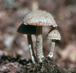 Kohlenfaserling-Psathyrella pennata