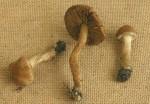 : Risspilze, Wirrköpfe-Inocybe vulpinella var.fuscolamellata