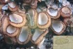 Geselliger Borstling-Trichophaea gregaria