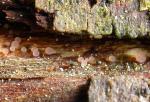 Graugrünliches Pokalbecherchen-Allophylaria macrospora