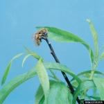 Kreisschimmel-Fruchtbecherchen-Monilinia fructigena
