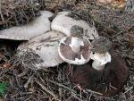 Übelriechender Egerling-Agaricus maleolens
