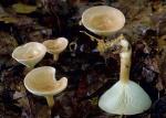 Ockerbrauner Trichterling-Clitocybe gibba