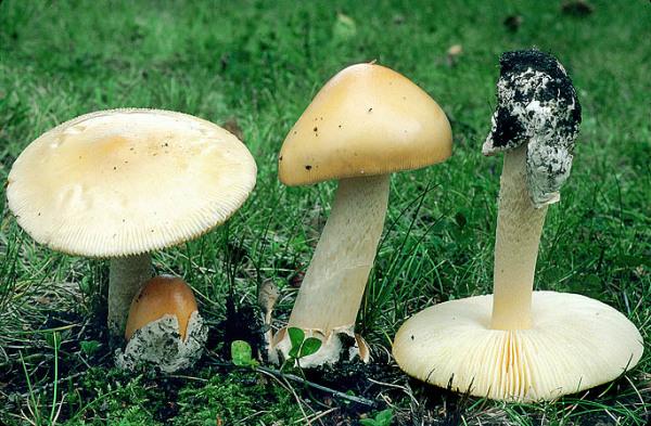 Gelber Scheidenstreifling-Amanita flavescens
