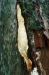 Ockerfarbener Dauerporling-Perenniporia medulla-panis