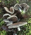 Muschelartiger Nabeling-Arrhenia acerosa