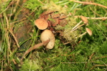 Mäuseschwanz-Amyloidsporrübling-Baeospora myosurus