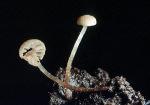 : Flockenschüppling-Flammulaster speireoides