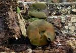 Olivfarbener Grünspanbecherling-Chlorencoelia versiformis