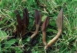 Olivbraune Stielzunge-Microglossum olivaceum