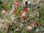 Rauhhaariger Schildborstling-Scutellinia nigrohirtula