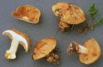 Gelbgrüner Klumpfuss-Cortinarius flavovirens