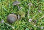 Seidigschimmernder Glöckling-Entoloma nitens