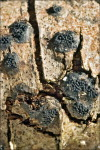 Geschnäbelter Kugelpilz-Anthostoma decipiens