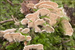 Zweifarbiger Resupinatstacheling-Steccherinum bourdotii