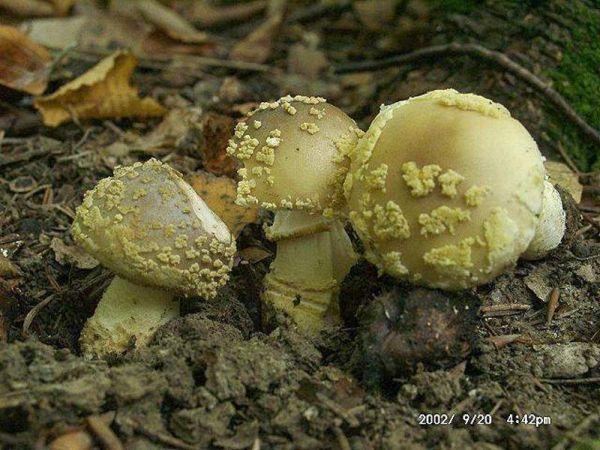 Rauher Wulstling-Amanita franchetii