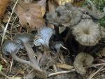 Gelblichgraue Trompete-Cantharellus cinereus