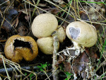 Kleiner Hartbovist-Scleroderma areolatum