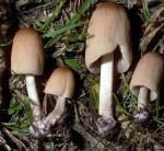 Breitsporiger Scheibchentintling-Parasola leiocephala