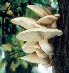 Ulmenrasling-Hypsizygus ulmarius