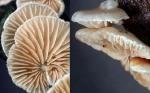 : Stummelfüsschen-Crepidotus cesatii